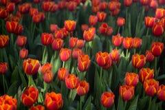 Fondo dei tulipani del fiore Bello punto di vista dei tulipani di colore Immagini Stock