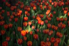 Fondo dei tulipani del fiore Bello punto di vista dei tulipani di colore Immagine Stock