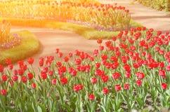 Fondo dei tulipani del fiore Bello punto di vista dei tulipani rossi nell'ambito del paesaggio di luce solare al mezzo della prim immagine stock libera da diritti