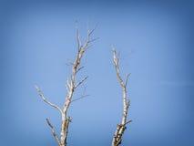 Fondo del árbol de abedul Imagenes de archivo