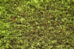 Fondo del árbol de abeto Imagen de archivo libre de regalías