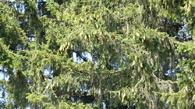 Fondo del árbol de abeto almacen de video