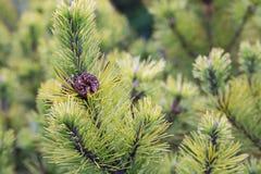 Fondo del árbol de abeto con el cono del pino Imagen de archivo