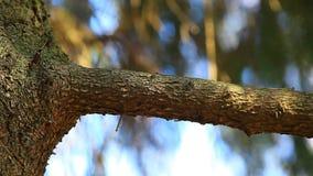Fondo del árbol de abeto nadie estación de primavera de la cantidad del hd metrajes