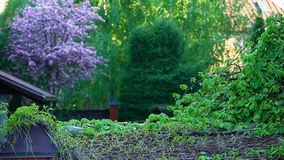Fondo del árbol de almendras de la violeta de jardín nadie cantidad del hd almacen de metraje de vídeo