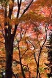 Fondo del árbol de Autumn Maple del japonés Imagen de archivo libre de regalías