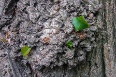 Fondo del árbol de corteza, textura Corteza del álamo con las hojas jovenes Imagen de archivo