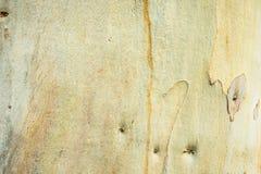 Fondo del árbol de eucalipto Fotos de archivo