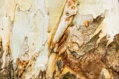 Fondo del árbol de eucalipto Imagen de archivo
