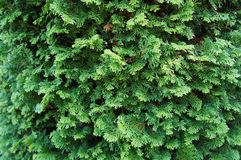 Fondo del árbol de pino Imagenes de archivo