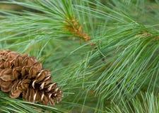Fondo del árbol de pino de la Navidad Imágenes de archivo libres de regalías