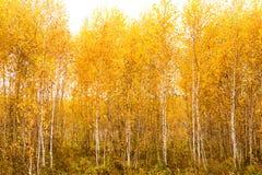 Fondo del amarillo del otoño de la naturaleza del bosque del abedul del otoño Fotografía de archivo libre de regalías