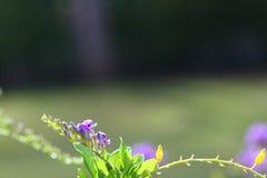 Fondo del arbusto púrpura de la flor, espacio vacío de la copia Fotografía de archivo