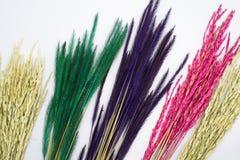 Fondo del blanco de la planta de arroz de la hierba de Rye fotografía de archivo
