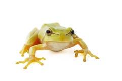 Fondo del blanco de la rana de árbol Foto de archivo
