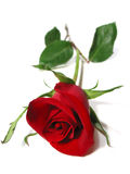 Fondo del blanco de la rosa del rojo imagen de archivo libre de regalías