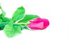 Fondo del blanco de las rosas Fotos de archivo