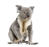 Fondo del blanco de los againts del oso de Koala Fotografía de archivo libre de regalías