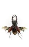 Fondo del blanco de los ciervos del escarabajo fotografía de archivo libre de regalías