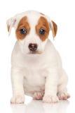 Fondo del blanco del pon del terrier de Jack Russell fotos de archivo libres de regalías