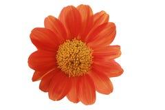 Fondo del blanco del primer de la flor del Zinnia Fotografía de archivo