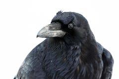 Fondo del blanco del retrato del cuervo Fotos de archivo libres de regalías