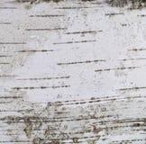 Fondo del blanco gris de la textura de la cáscara del árbol de abedul de plata Foto de archivo