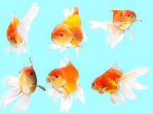Fondo del blu del pesce rosso Immagini Stock Libere da Diritti
