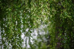 Fondo del bosque del abedul de la naturaleza en el lago del bosque Fotografía de archivo libre de regalías