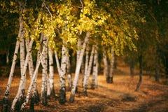 fondo del bosque del abedul del otoño Imagenes de archivo