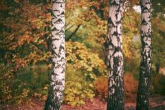 fondo del bosque del abedul del otoño Foto de archivo libre de regalías