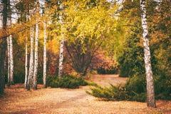 fondo del bosque del abedul del otoño Imagen de archivo