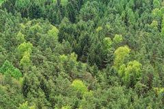 Fondo del bosque del abedul y del pino del abeto Fotos de archivo libres de regalías
