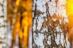 Fondo del bosque del abedul Fotos de archivo libres de regalías
