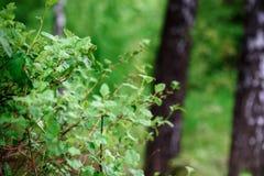 Fondo del bosque del abedul de la naturaleza en el lago del bosque Imagen de archivo