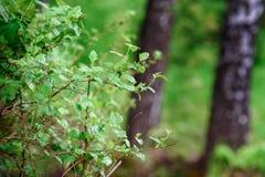 Fondo del bosque del abedul de la naturaleza en el lago del bosque Fotografía de archivo