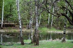 Fondo del bosque del abedul de la naturaleza en el lago del bosque Foto de archivo