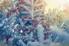 Fondo del bosque del invierno con los copos de nieve y árbol de abeto con los conos en colores y luz del sol azules del tinte Imagenes de archivo