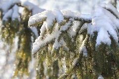 Fondo del bosquejo del invierno con las ramas del abeto Imagen de archivo