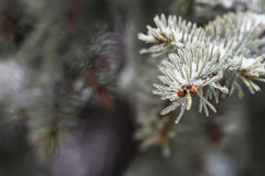 Fondo del bosquejo del invierno con las ramas del abeto y la nieve que cae Imagen de archivo