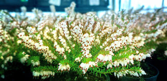 Fondo del brezo blanco Fotos de archivo