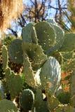 Fondo del cactus Imagen de archivo