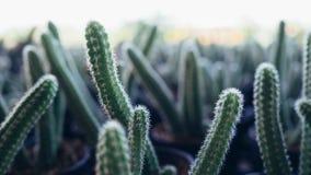 Fondo del cactus Fotografia Stock Libera da Diritti