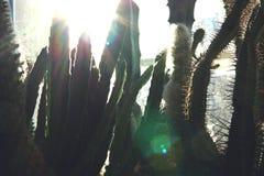 Fondo del cactus con luz del sol imágenes de archivo libres de regalías