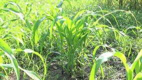 Fondo del campo de maíz