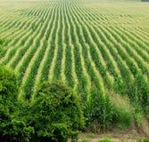Fondo del campo de maíz Fotos de archivo