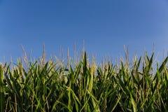 Fondo del campo de maíz verde y del cielo azul Fotos de archivo