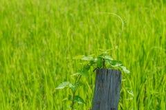 Fondo del campo del arroz Foto de archivo libre de regalías
