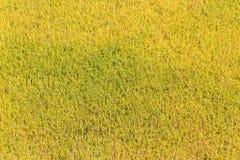 fondo del campo del arroz del oro Fotos de archivo