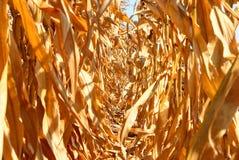 Fondo del campo di grano Immagini Stock